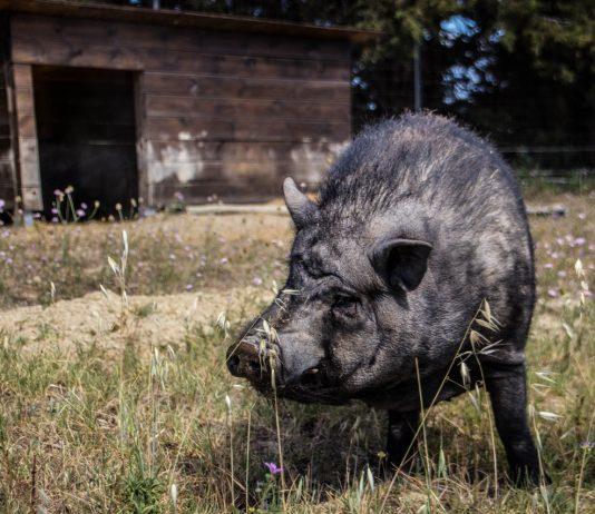 Potbelly pig Le Viala